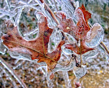 Leaves covered in ice during a harsh winter storm Stock Photo