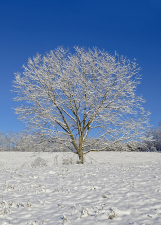 A lone tree in a pasture after a new snowfall. Concept for peace, tranquality, and winter.