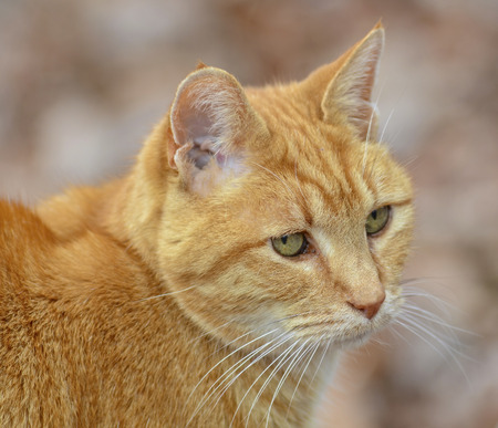 Orange Tabby Cat Close Stock Photo
