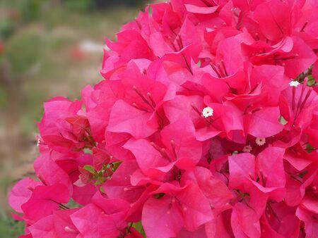 folwer: Bougainvillea folwer in garden