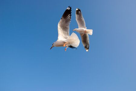 Gulls fly together two players.