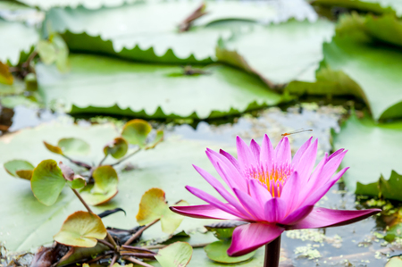 Pink lotus, and lotus leaf, in the pool Stock Photo