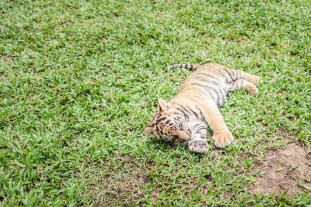 Baby tiger is running very cute.