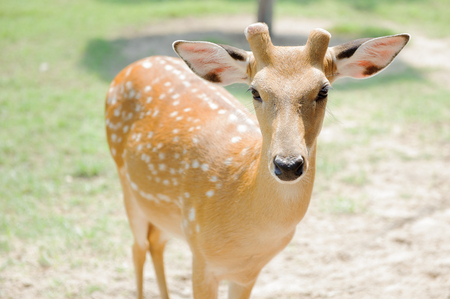 Deer cute, in a zoo in Thailand. Stock Photo