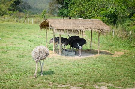 Ostrich, long-necked bird in Thailand.
