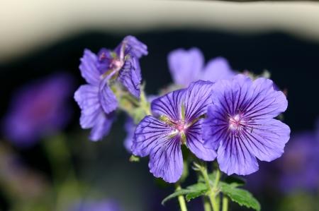 Macro or close up picture of a purple geranium flower in bloom  Botanical names are Geranium Ibericum, Iberian Cranesbill, Caucasian Cranesbill, Spanish Cranesbill, Iberian Geranium  Imagens