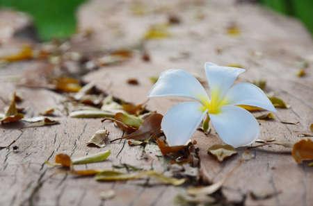 hojas secas: Frangipani blanco está en medio de las hojas secas sobre la madera vieja