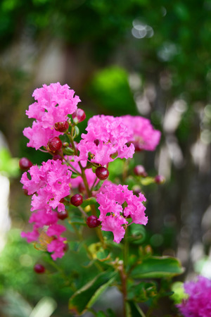 myrtle: Beautiful crape myrtle blooming in the garden