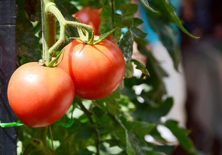 riped: Tomatos are riped in the organic farm