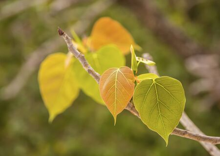 The leaves of the bodhi tree in Thailand on blurred background.