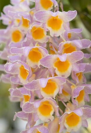 Close-up of pink orchid flowers, Dendrobium palpebrae Lindl., Dendrobium farmeri Paxton