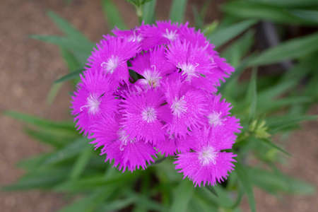 Sweet william pink flowers, Pink Dianthus Barbatus flowers blooming on blurred backgrounds.
