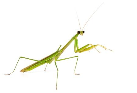 Macro green Mantis isolate on white background photo