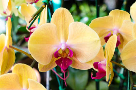 the image of yellow orchid flowers in garden photo