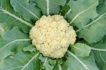close-up of the cauliflower in the vegetable garden photo