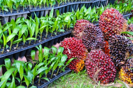 Seedlings of oil palm   For agriculture in tropical areas of Thailand   photo
