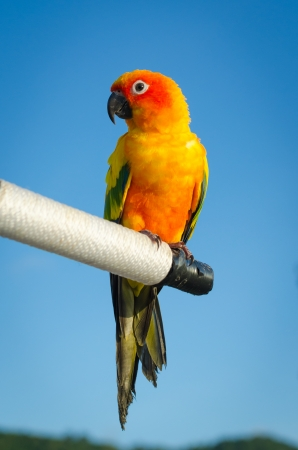 squealing: Beautiful colorful parrot, Sun Conure  Aratinga solstitialis ,native bird to northeastern South America  Stock Photo