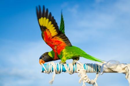 native bird: Hermoso loro colorido, Sun Conure Aratinga solstitialis, ave nativa noreste de Am�rica del Sur