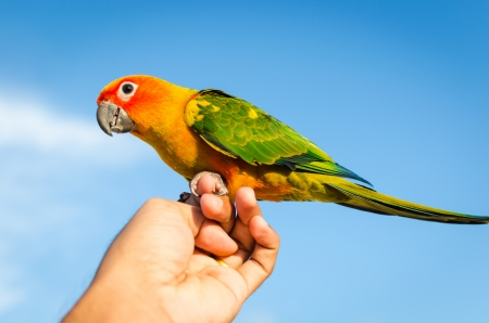Sun Conure Parrot perched on hand with blue sky