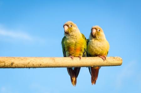 squab Sun Conure Parrot,native bird to northeastern South America