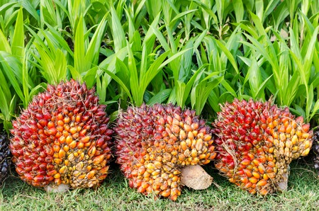 Pile of Palm Oil Fruits with Seedlings