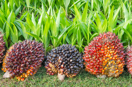 Pile of Palm Oil Fruits with Seedlings photo