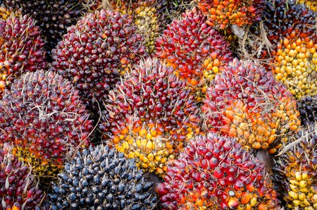 Background of Palm Oil Fruits on the floor at Thailand Stock Photo
