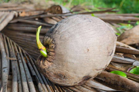 coconut seedlings: Coconut seedlings on dried coconut leaves.
