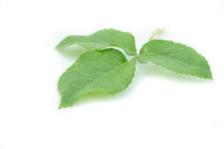 Green rose leaf isolate on white background