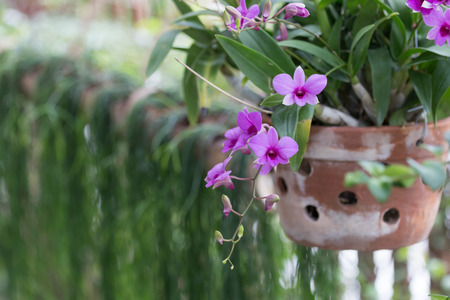 Beautiful orchid hang on pot