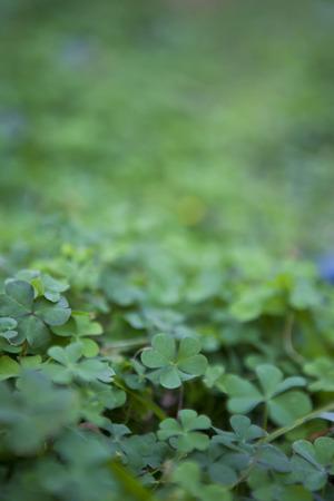 buena suerte: Shamrock Campo de la planta, buena planta suerte, planta Iris, San Patricio Foto de archivo