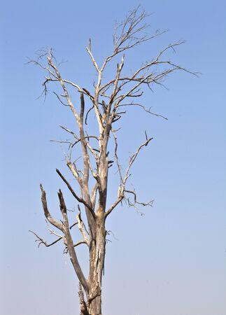 settler: Big dead tree, settler, timber