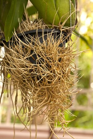 arial roots of orchid, root of plant, root without soil, roots in the air