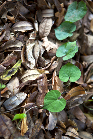 creeping plant: Green-heart leaf creeping plant lies on pile of dried leaves. Stock Photo