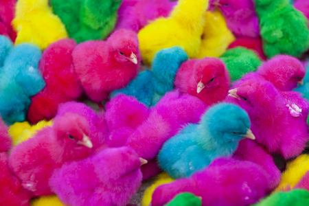 lovely colorful bright painted chicks, green, yellow, blue, pink, purple 免版税图像
