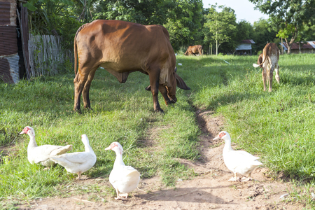 cows and ducks in the field