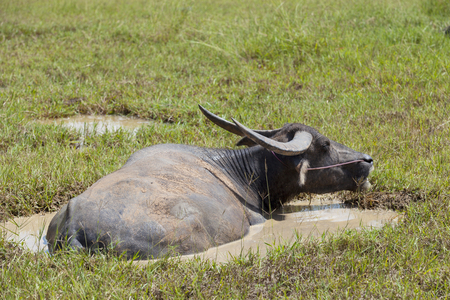Animal sunbathing, Asian black buffalo lying in the clay mud swamp for relaxing