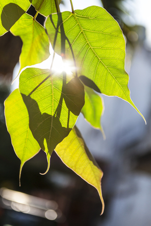 pipal: sunlight through the gap between the green leaves of bodhi, Ficus religiosa L., Sacred Fig Tree, Pipal Tree, Bohhi Tree, Bo Tree, Peepul, MORACEAE