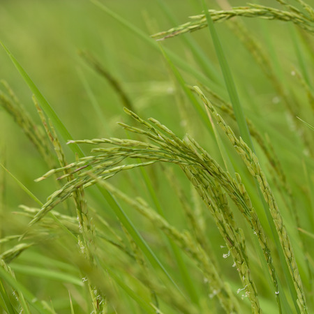 young rice grain and the spike in the paddy