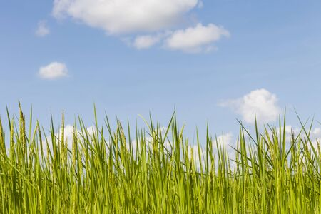 green rice plants and blue sky background with clouds 免版税图像