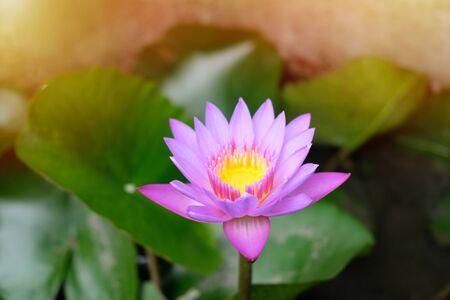 lotus flower in pond Beautiful pink water