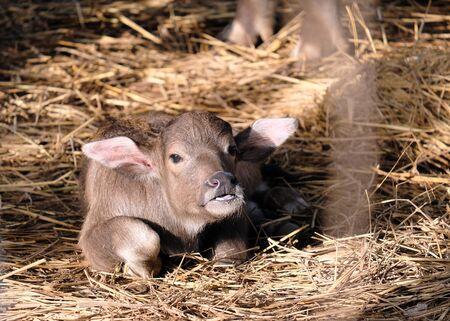 Buffalo baby sleeps on the morning sun straw