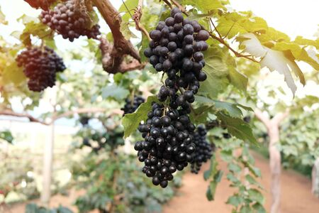 Large bunch of wine grapes hangs from grapes Stok Fotoğraf
