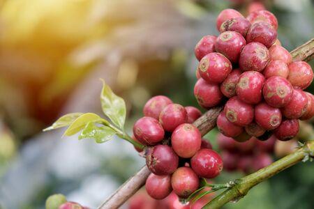 Coffee beans in the coffee garden Stok Fotoğraf