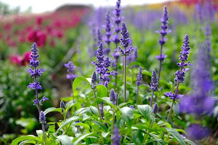 Blooming lavender in a field at Garden Stok Fotoğraf
