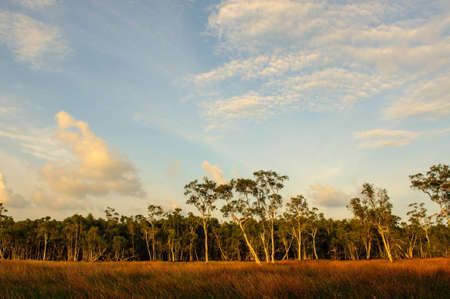 swamp forest on dry season with the evening sky photo