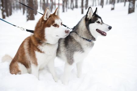 white winter: dogs huskie black red brown winter white Stock Photo