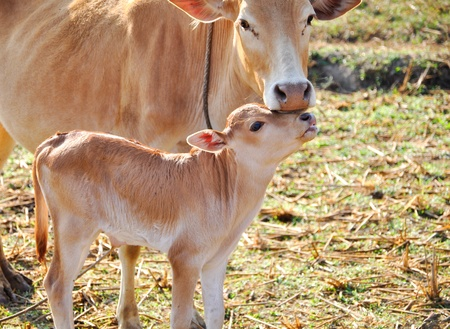 Calf and cow.