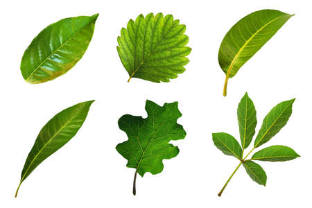 Collection of six species leaf isolated on white background Archivio Fotografico