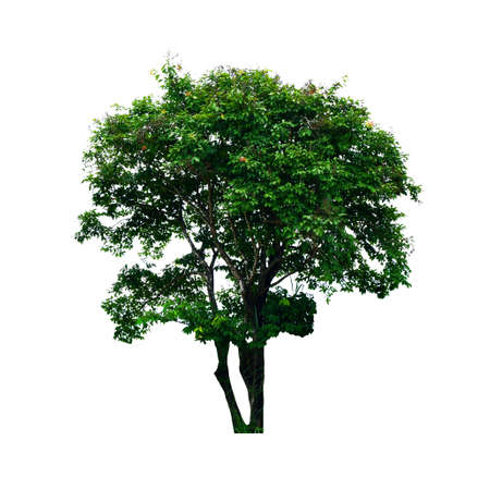 fresh green tree is isolated on white background For use in decorative design Both the garden and the architect.